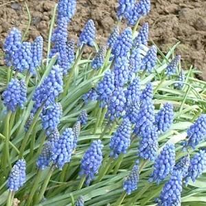 large_Blauwe druifjes 21-03.JPG