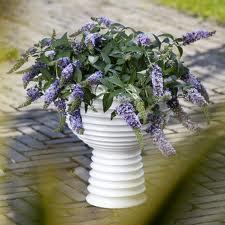 Buddleya Lilac chip.jpg