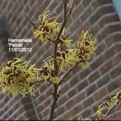 medium_Hamamelis Palida 11 01.jpg