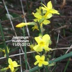 medium_Jasm. nudifl. 11 01.jpg