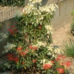 medium_Pieris Forest Flame 2.JPG
