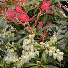 medium_Pieris Forest Flame.jpg