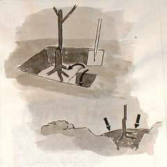 medium_planten fruitbomen f. 4.JPG