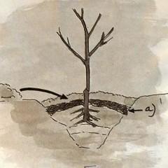 medium_planten fruitbomen f. 5.JPG