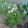 small_Anemone sylvestris iris pumila.jpg
