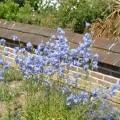 small_Campanula persicifolia blauw en wit.jpg