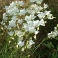 small_Campanula persicifolia wit 2.JPG