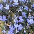 small_Eetbare viooltjes 12-04.JPG